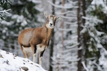 European Mouflon (Ovis Orientalis Musimon), Female, In A Snowy Winter Landscape