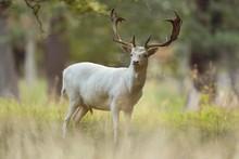 Fallow Deer (Dama Dama), With ...