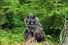 Great Grey Owl (Strix Nebulosa), Adult On Lookout, Kasselburg Vulkaneifel, Germany, Europe