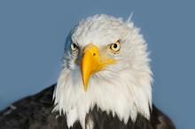Bald Eagle (Haliaeetus Leucocephalus), Male, Portrait, Captive, Germany, Europe