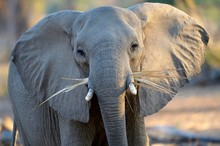 African Elephant (Loxodonta Africana), With Dry Palm Leaves In The Mouth, Lower Zambezi National Park, Zambia, Africa