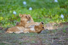Young Lions (Panthera Leo), Lion Cubs, Playfighting, Lower Zambezi National Park, Zambia, Africa