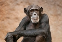 Western Chimpanzee Or West Afr...