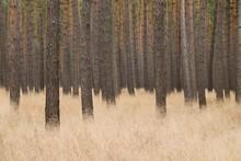 Scots Pines (Pinus Sylvestris)...