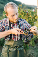 Man Cutting Bunch Of Grapes