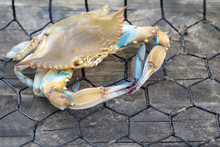 Blue Crab Caught In The Net, G...