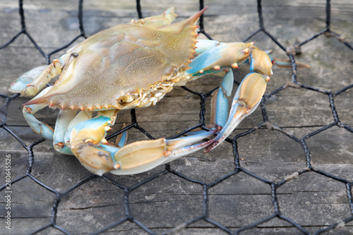 Blue crab caught in the net, Gulf of Mexico Canvas Print