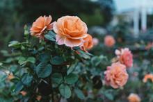 Roses In A Garden At Dusk