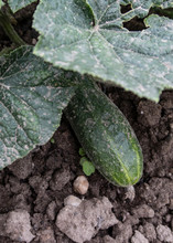 Cucumber Growing In A Vegetable Bed