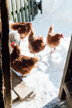 Curious Chickens In Yard