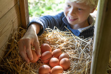 A Young Boy Collects Chicken Eggs