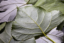 Pure Water Drops On Different Leaves. Creative Macro Photo As A Mecket For Your Ideas. Flat Lay