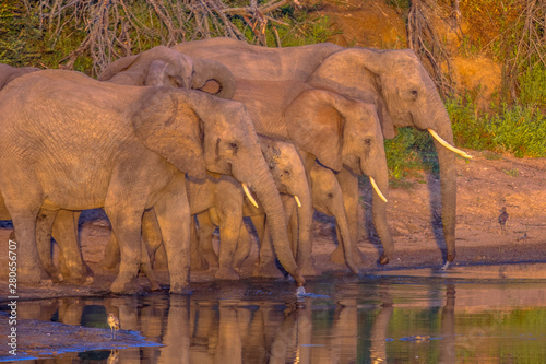 Photo African Elephants drinking from pond