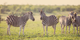 Fototapeta Sawanna - Four Common Zebra grooming on savanna