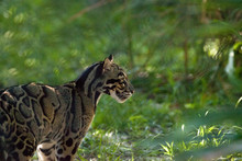 Female Adult Clouded Leopard Neofelis Nebulosa Is Listed As Vulnerable