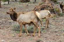 Elk,  Female