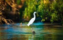 Egret, Egretta Garzetta In Danube Delta, Romania