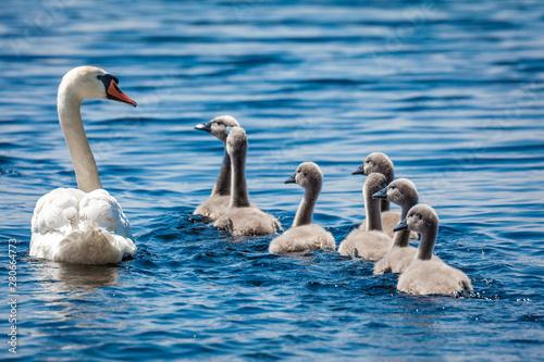 Foto op Canvas Zwaan Baby Cygnus Olor swans in Danube Delta, Romania