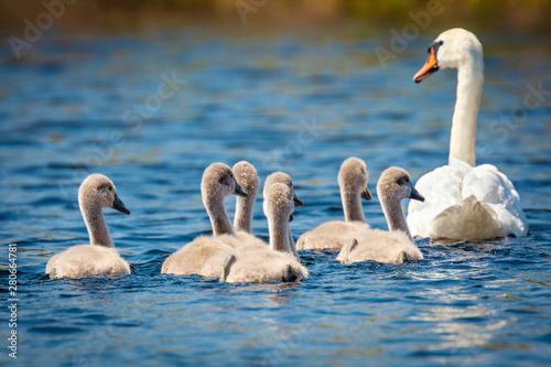 Spoed Fotobehang Zwaan Baby Cygnus Olor swans in Danube Delta, Romania