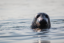 Grey Seal (Halichoerus Grypus) Closeup On Summer Morning, Muscongus Bay, Maine