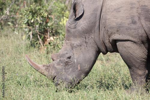 Garden Poster Rhino Breitmaulnashorn / Square-lipped rhinoceros / Ceratotherium Simum