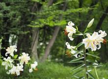 Lilium Auratum Flowers In Earl...