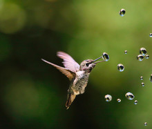 Hummingbirds With Water Drops