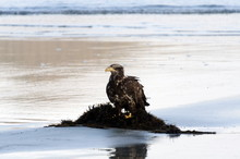 Young Bald Eagle Sitting On A Heap Of Seaweed During Low Tide At Chesterman Beach, British Columbia
