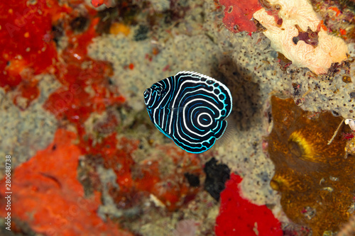 Photo Juvenile emperor angelfish, Pomacanthus imperator, is a species of marine angelf