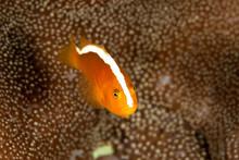 Orange Skunk Clownfish, Amphip...