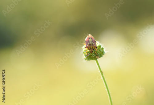 Vászonkép Hemiptera or bug on green plant closed up
