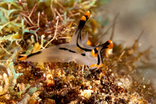Painted Thecacera, Thecacera Picta Is A Species Of Sea Slug, A Nudibranch, A Shell-less Marine Gastropod Mollusk In The Family Polyceridae