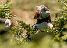 Two Puffins On Skomer Island