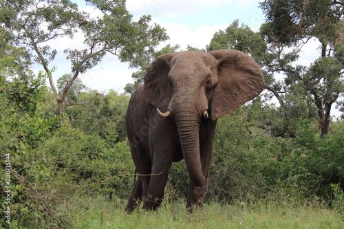 Aluminium Prints Elephant Afrikanischer Elefant / African elephant / Loxodonta africana