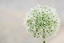 White Allium Against Light Bac...
