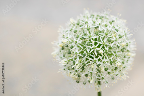 Photo white allium against light background. Space for text