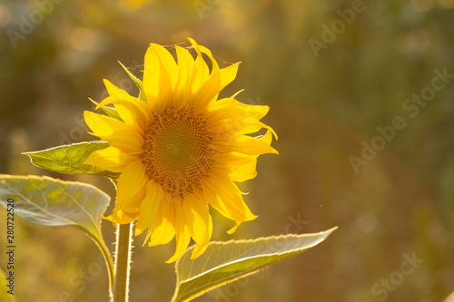 Fototapety, obrazy: Young sunflower flower close up, soft focus