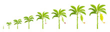 Set Growth Stages Of Banana Palm Tree. Crop Stages Bananas Harvest. Vector Illustration Growing Plants. Period Progression Life Cycle Animation.