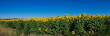 Field Of Sunflowers In The Cloudless Morning