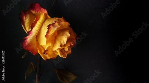 Golden red faded rose on black background Fototapet