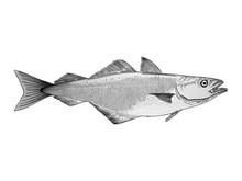 Atlantic Cod Vector Illustration