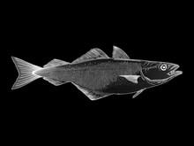 White Atlantic Cod Vector Illustration On A Black Background