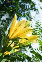 Beautiful Delicate Yellow Lily Flower Grows In Summer Garden