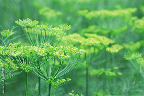 Fotografie, Obraz  Floral background of fresh green blooming dill, selective focus