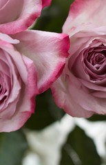 Pink Roses close up with dark pink fringed petals