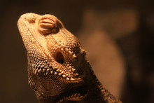 Close Up Of Bearded Dragon In His Habitat