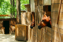 Horses In A Stable. Animals, Country Concept. Wooden Stable. Horses Look Out Of The Windows Of The Stables.