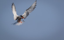 Arctic Tern (Sterna Paradisaea) In Flight With Fish On A Summer Morning In Maine