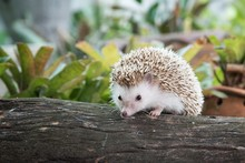 Hedgehog In Forest, Dwraf Hedgehog On Stump, Young Hedgehog On Timber Wiith Eye Contact,Natural Background