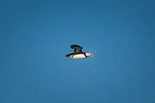 Puffin In Flight With Blue Sky Background